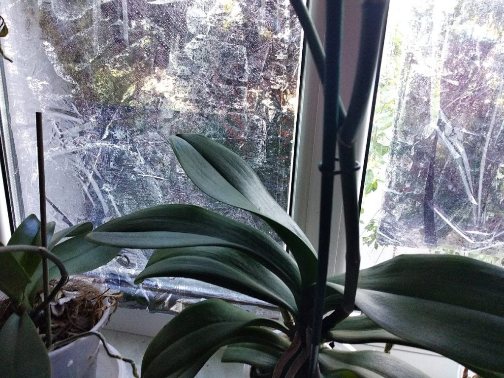 как поливать орхидею янтарной кислотой в порошке